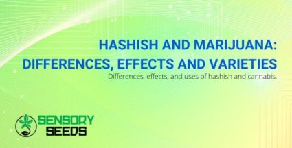 differences between hashish and marijuana, strain effects and uses