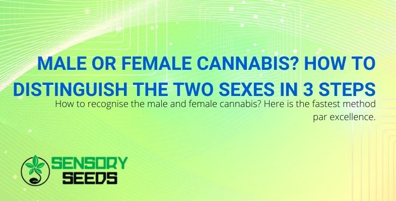 How to distinguish male from female cannabis