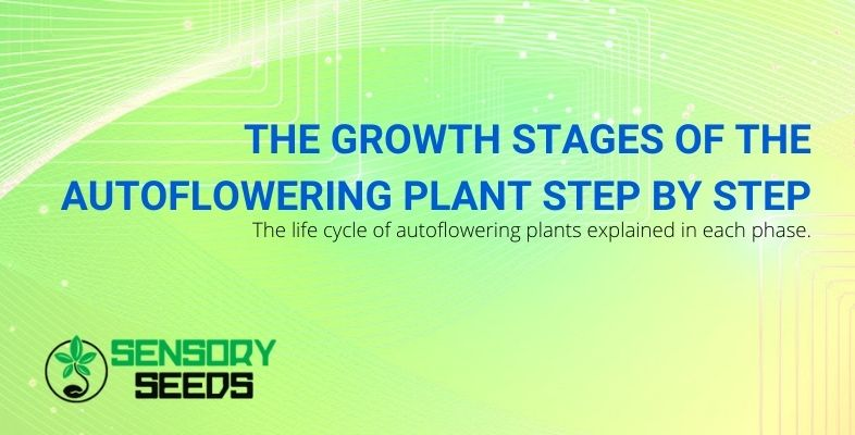 Autoflowering plant: the stages of growth