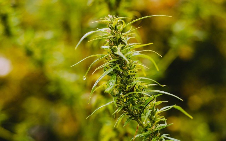 What are hermaphroditic cannabis plants?