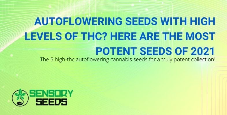 The highest THC and most potent autoflowering seeds of 2021