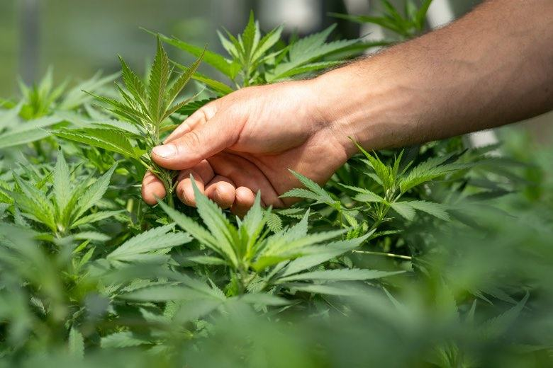 The hermaphroditic cannabis plant could be a stressed plant