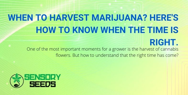 Knowing when is the right time to harvest marijuana