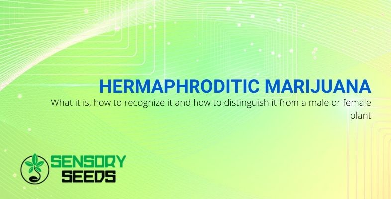 What is hermaphroditic marijuana, how to recognize it and distinguish it from female and male plants