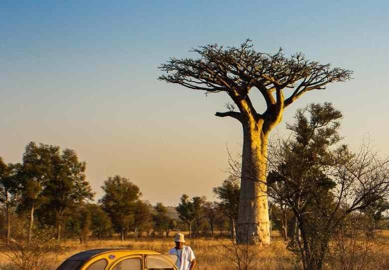 Baobab with horizontal branches like the scrog method