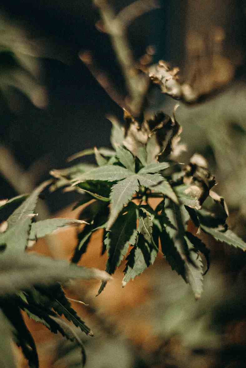Cannabis plant with botrytis