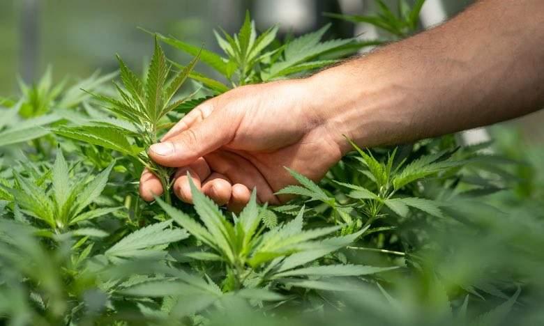 Grower analyzing a cannabis plant