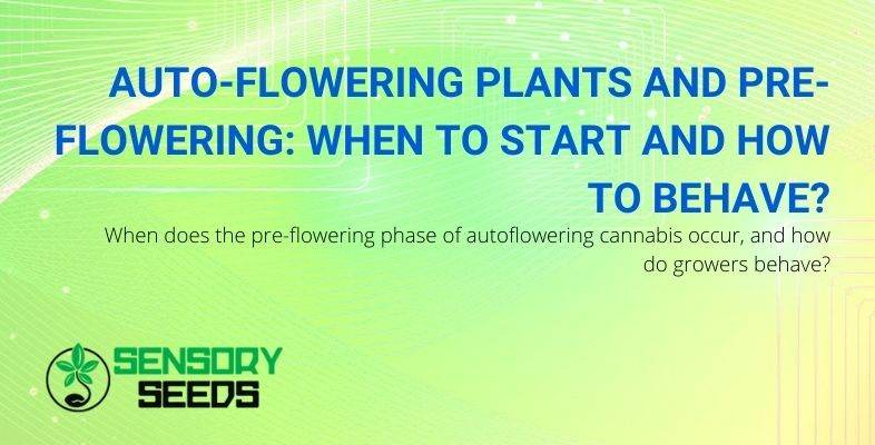 How to behave during the pre-flowering of autoflowers