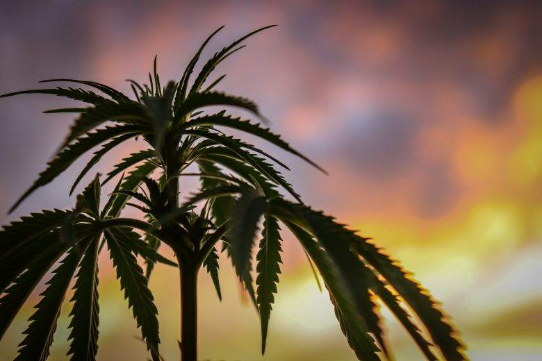 Cannabis Sativa: difference with Indica