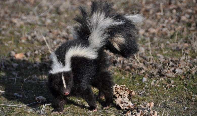 Cannabis skunk: meaning skunk