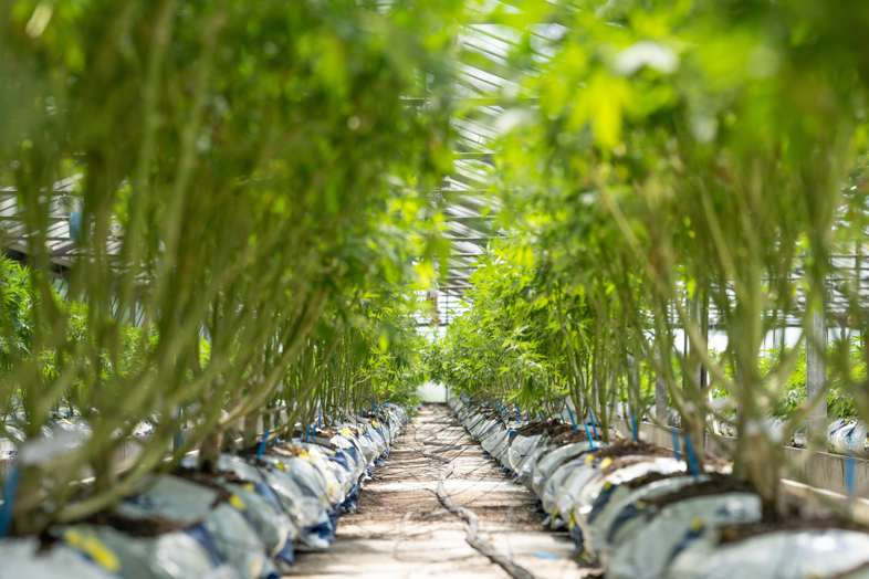 Defoliated autoflowering cannabis plants