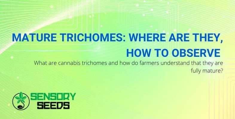 What are they and how to recognize mature trichomes?