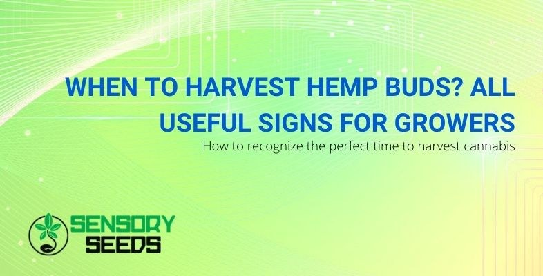 The signs that help you know if you can harvest cannabis buds