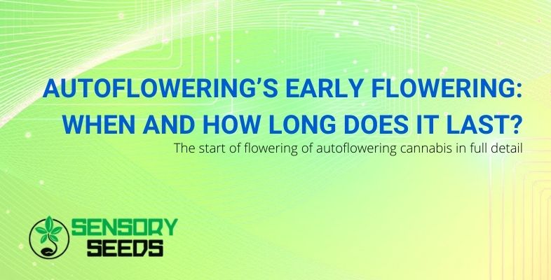 When does autoflowering start to bloom, and how long does it last?