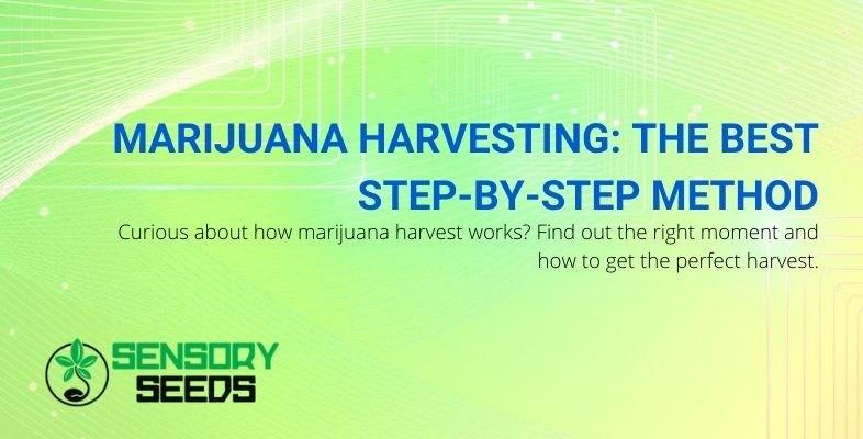 The best step-by-step method of harvesting marijuana