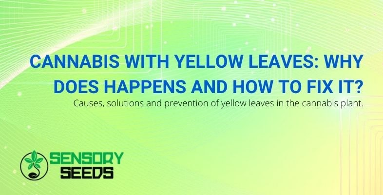 Cannabis with yellow leaves: causes and solutions