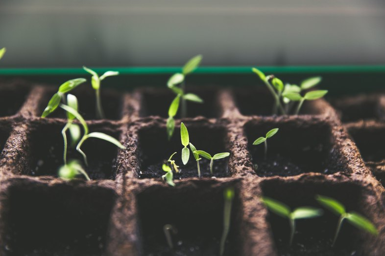 How are cannabis seeds planted in countries where it is allowed?