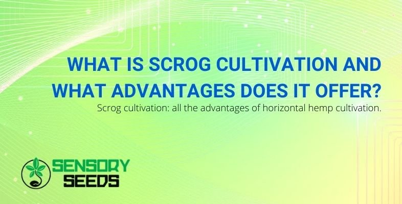 The advantages offered by scrOG cultivation