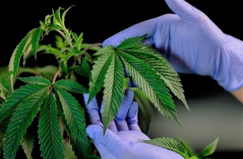 Indoor Marijuana Growing Guide.