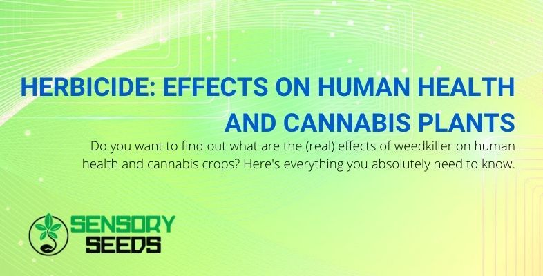 The effects of the herbicide on humans and marijuana plants