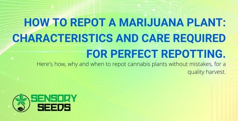 Features and attention to repotting marijuana correctly