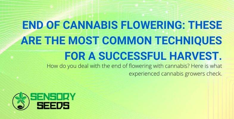 How to behave for a good harvest in the final stage of cannabis flowering.
