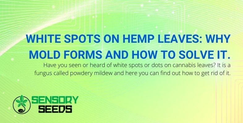 Why do white mold spots form on hemp leaves? Causes and solutions.