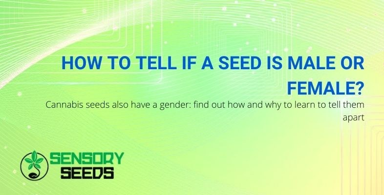 How to understand the sex of cannabis seeds?