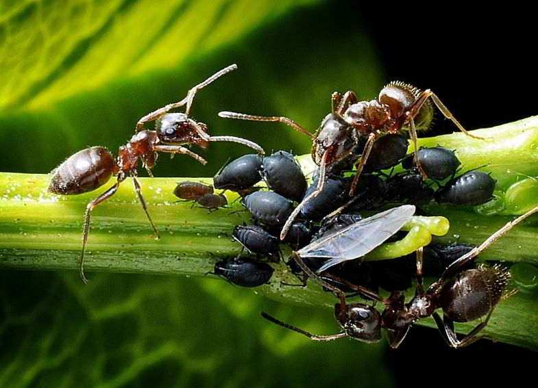 Cannabis insects and parasites