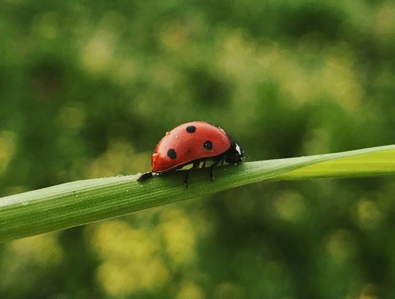 The antagonist ladybug of cannabis parasites