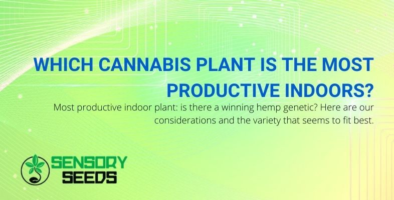 The indoor cannabis plant that produces the most.