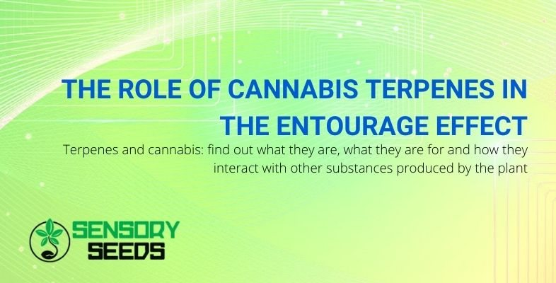 What are cannabis terpenes and what role they play in the entourage effect