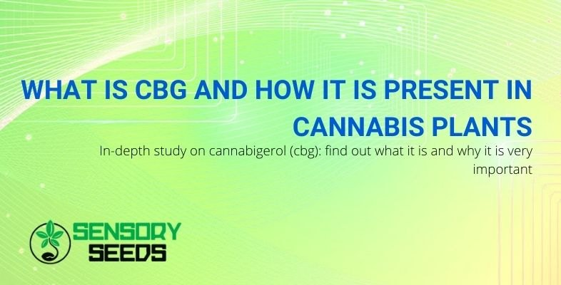 What is CBG and what role does it play in the marijuana plant?