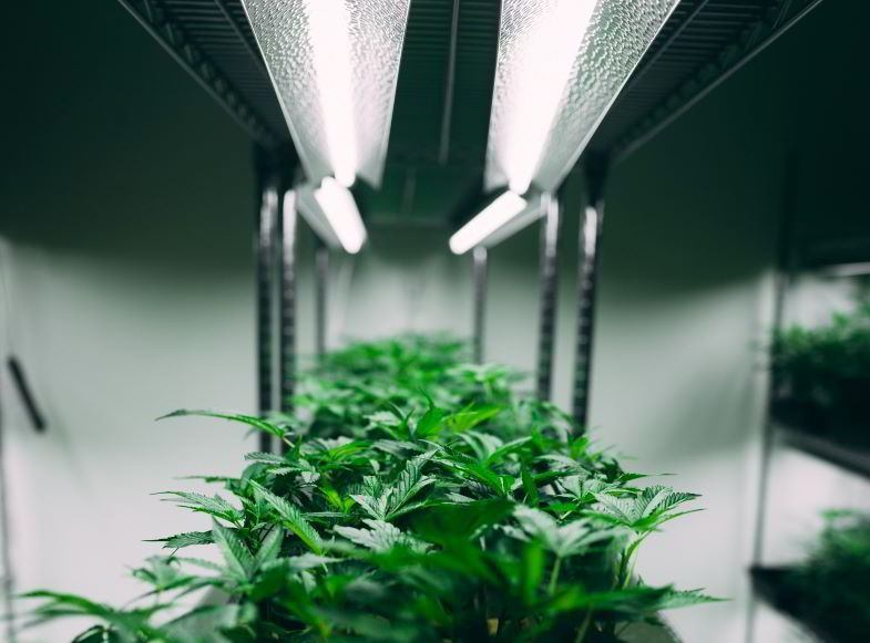What is the most productive indoor hemp plant
