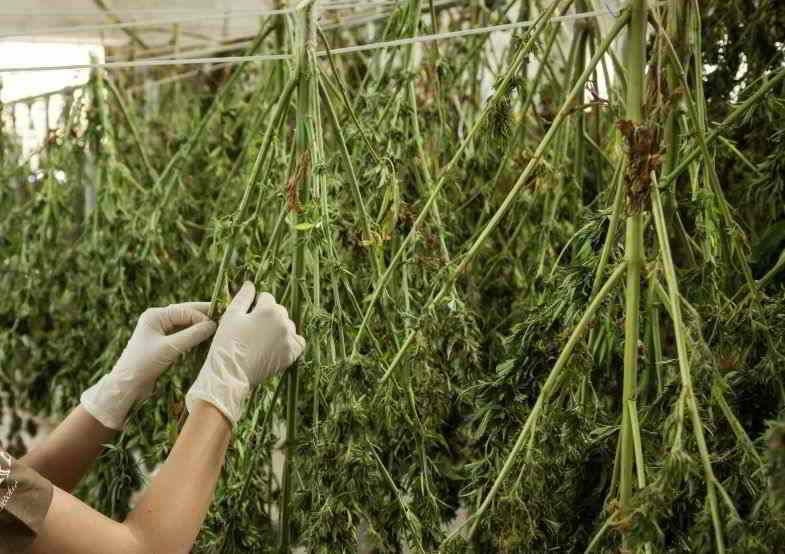 Cannabis plants hung for drying