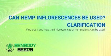 How can you use hemp inflorescences?