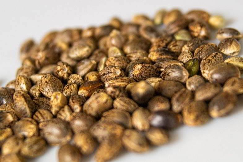 How to find if marijuana seeds are good