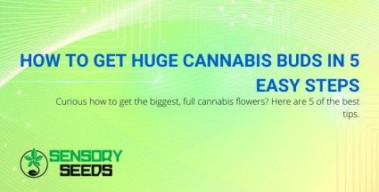 5 steps to get bigger and fuller cannabis flowers