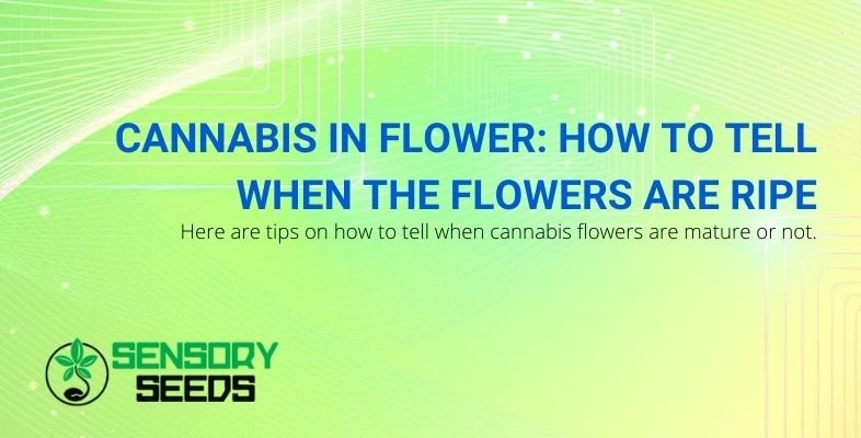 How to recognize cannabis flowers when they are ripe?